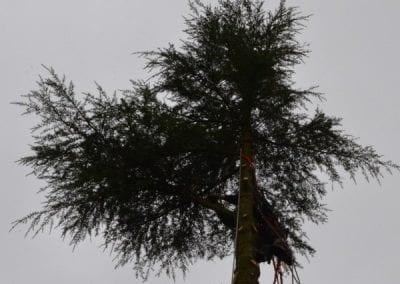 Gallery - Cedar dismantle 7