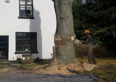 Gallery - Copper Beech Dismantle 11