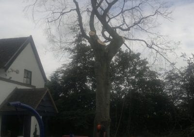 Gallery - Copper Beech Dismantle 2