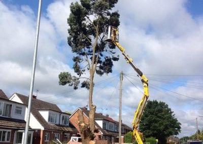 Gallery - Eucalyptus dismantle 4