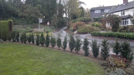 re-planted-with-yew