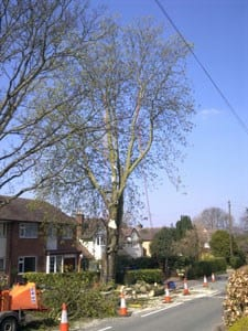 thumb_wsp-15-removal-of-a-horse-chestnut-infected-with-bleeding-canker