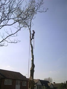 thumb_wsp-16-removal-of-a-horse-chestnut-infected-with-bleeding-canker