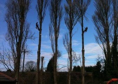 thumb_wsp-18-dismantling-lombardy-poplars