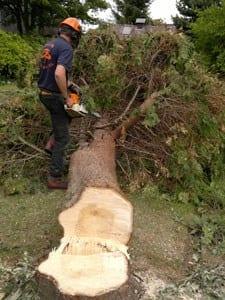 thumb_wsp-19a-cuttig-up-a-felled-lawson-cypress