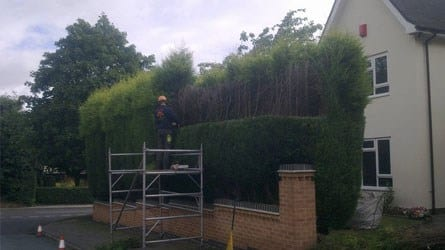 thumb_wsp-28-height-reduction-of-a-leyland-cypress-hedge