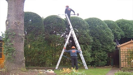 thumb_wsp-8-annual-trim-of-a-leyland-cypress-hedge