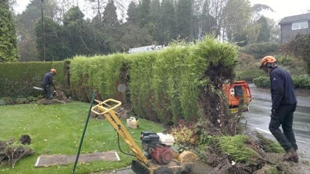 removal-of-a-drought-stressed-leyland-cypress-hedge