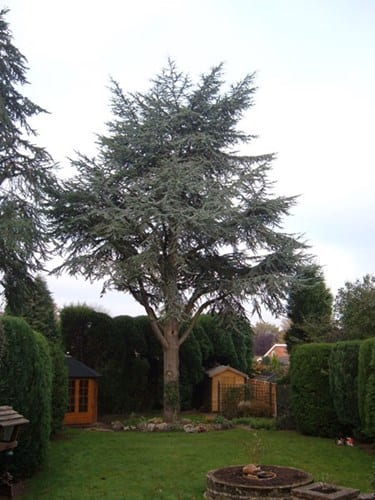 wsp-5-crown-reduction-of-a-blue-atlas-cedar-before